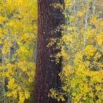 pine tree yellow leaves high sierras fall farrell photography
